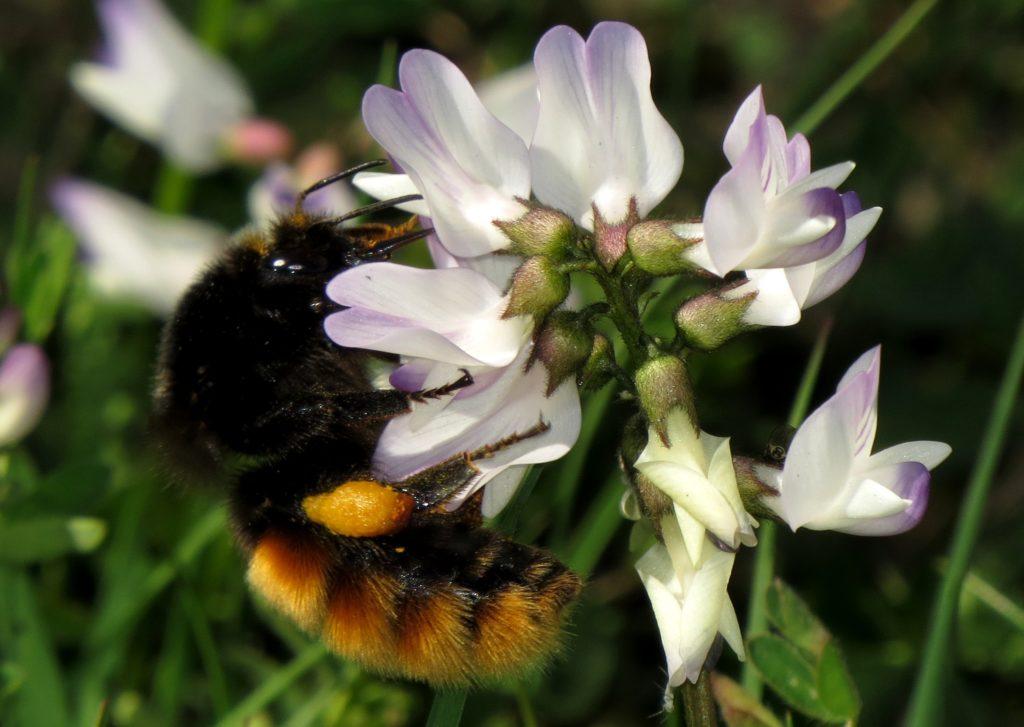 En dronning av alpehumle Bombus alpinus samler pollen og nektar på setermjelt. Foto: Tor Bollingmo.
