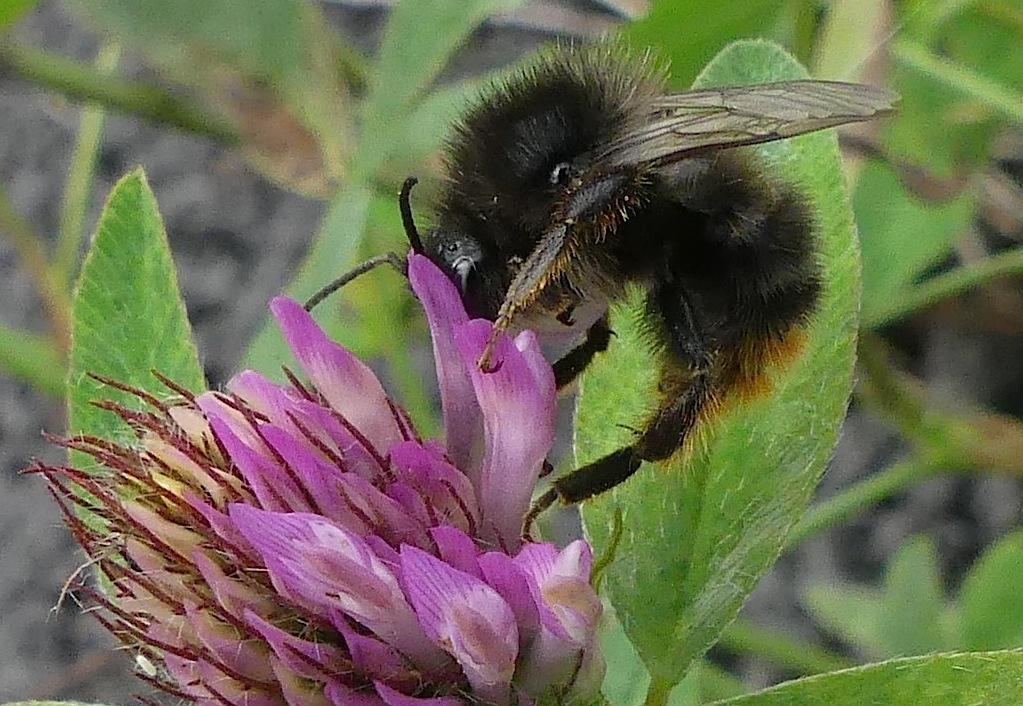 kommer biene tiol a forsvinne fra norfge
